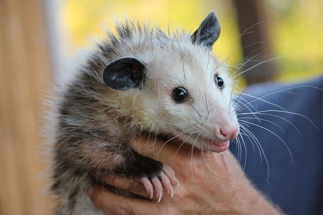 do rabbits and possums get along