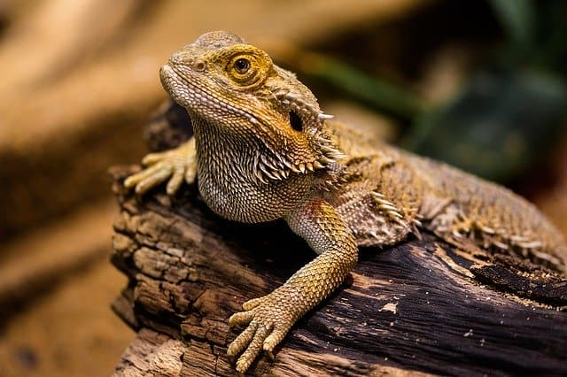 do rabbits and dragons(bearded dragons) get along