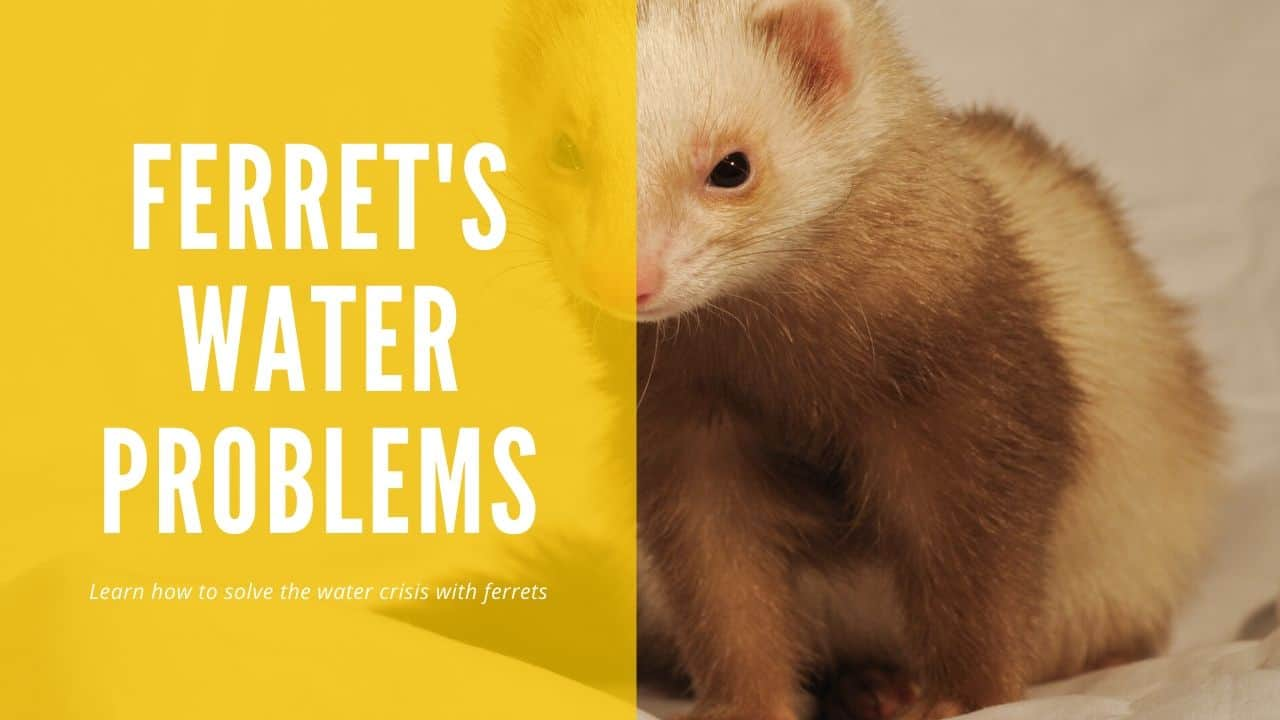 Ferret Not Drinking Water