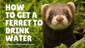 How to get a ferret to drink