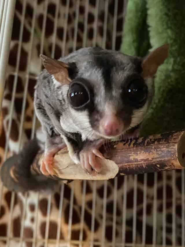 Your Complete Pre-Buying Guide to Sugar Gliders 1