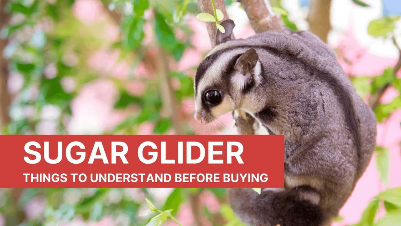 Things to understand before buying a sugar glider as an ESA