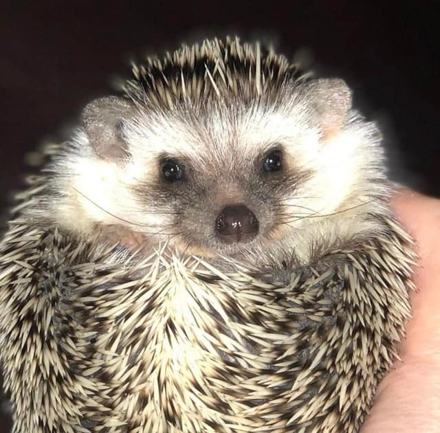 The Complete HedgeHog Pooping Guide 1