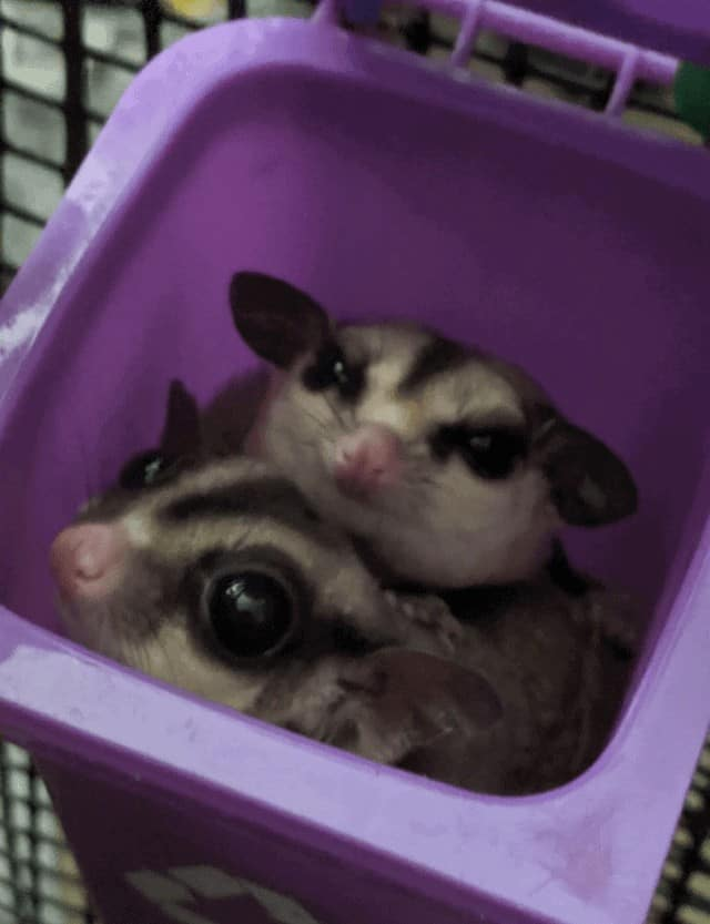 Your Complete Pre-Buying Guide to Sugar Gliders 2