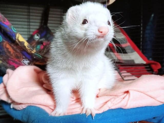 Everything You Need To Know About Ferret Scratching 1