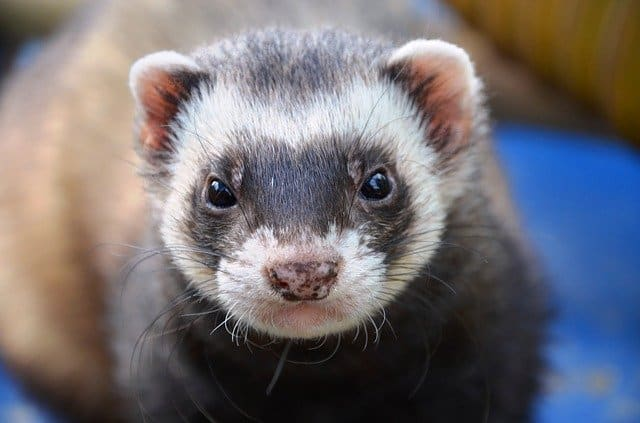 Everything You Need To Know About Ferret Scratching 2