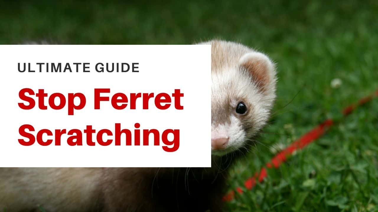 How to make a ferret stop scratching