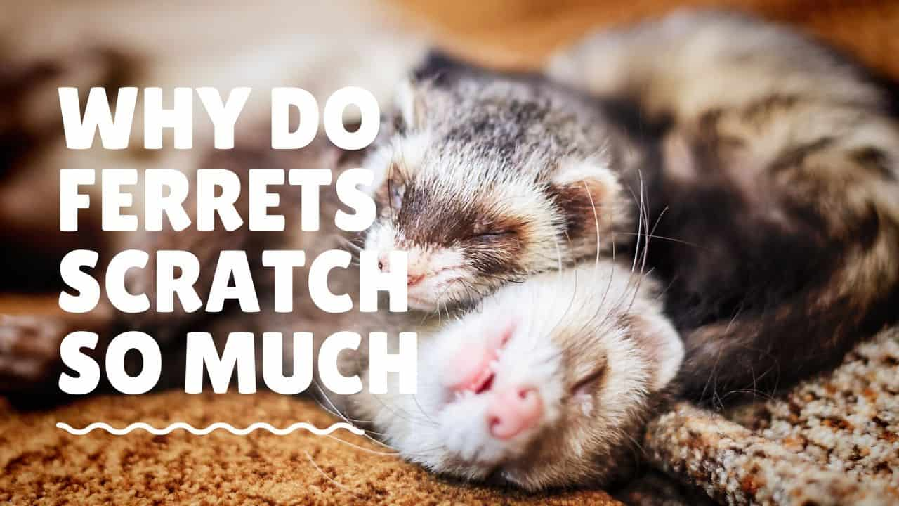 Why do Ferrets scratch so much