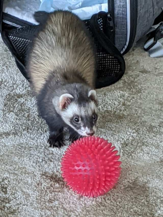 Everything You Need To Know About Ferret Scratching 3