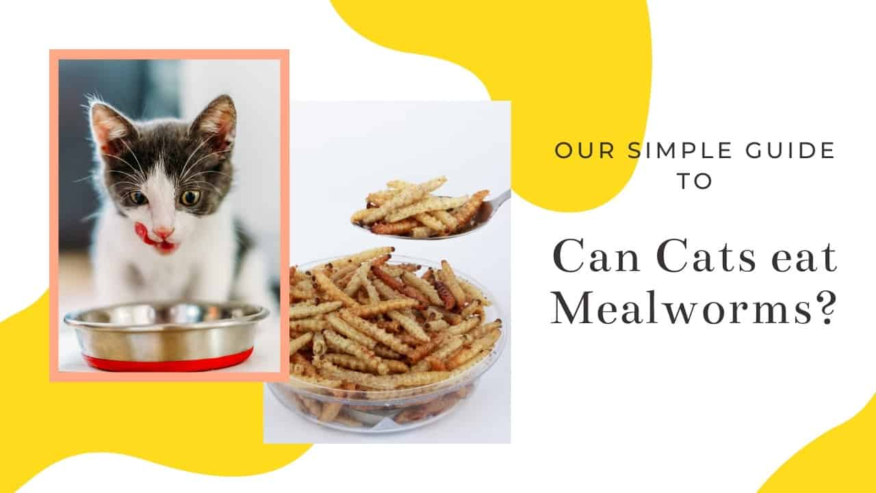 Do cats eat mealworms
