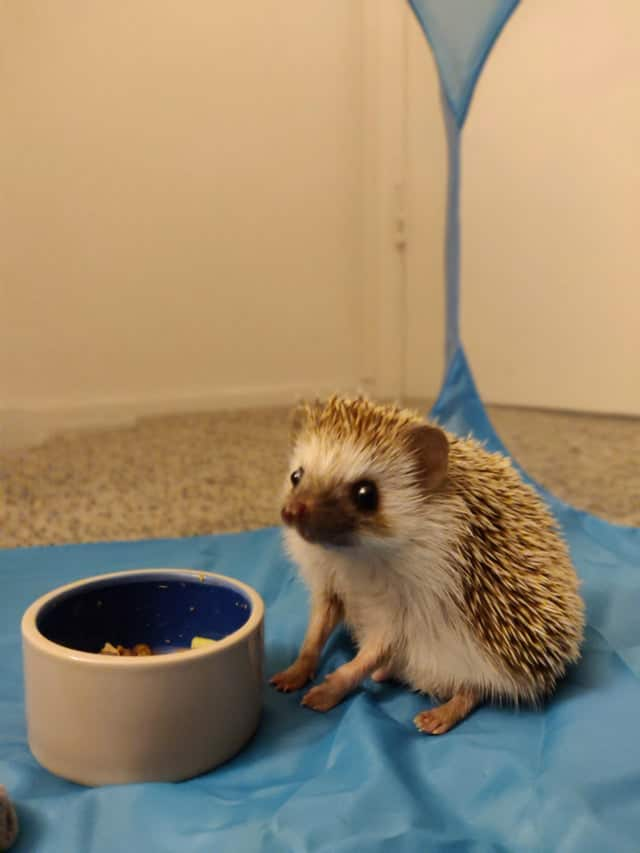 How much food should you provide to a hedgehog