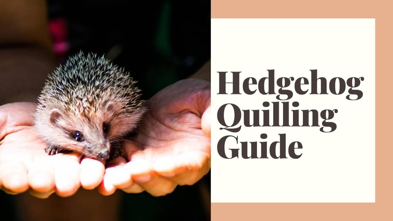 Do Hedgehogs Have Quills