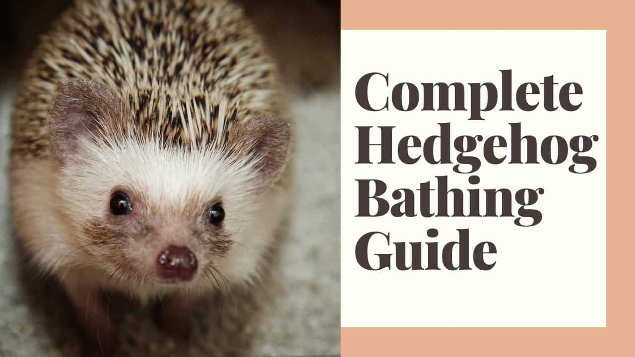The Complete Guide to Bathing for Hedgehogs 1