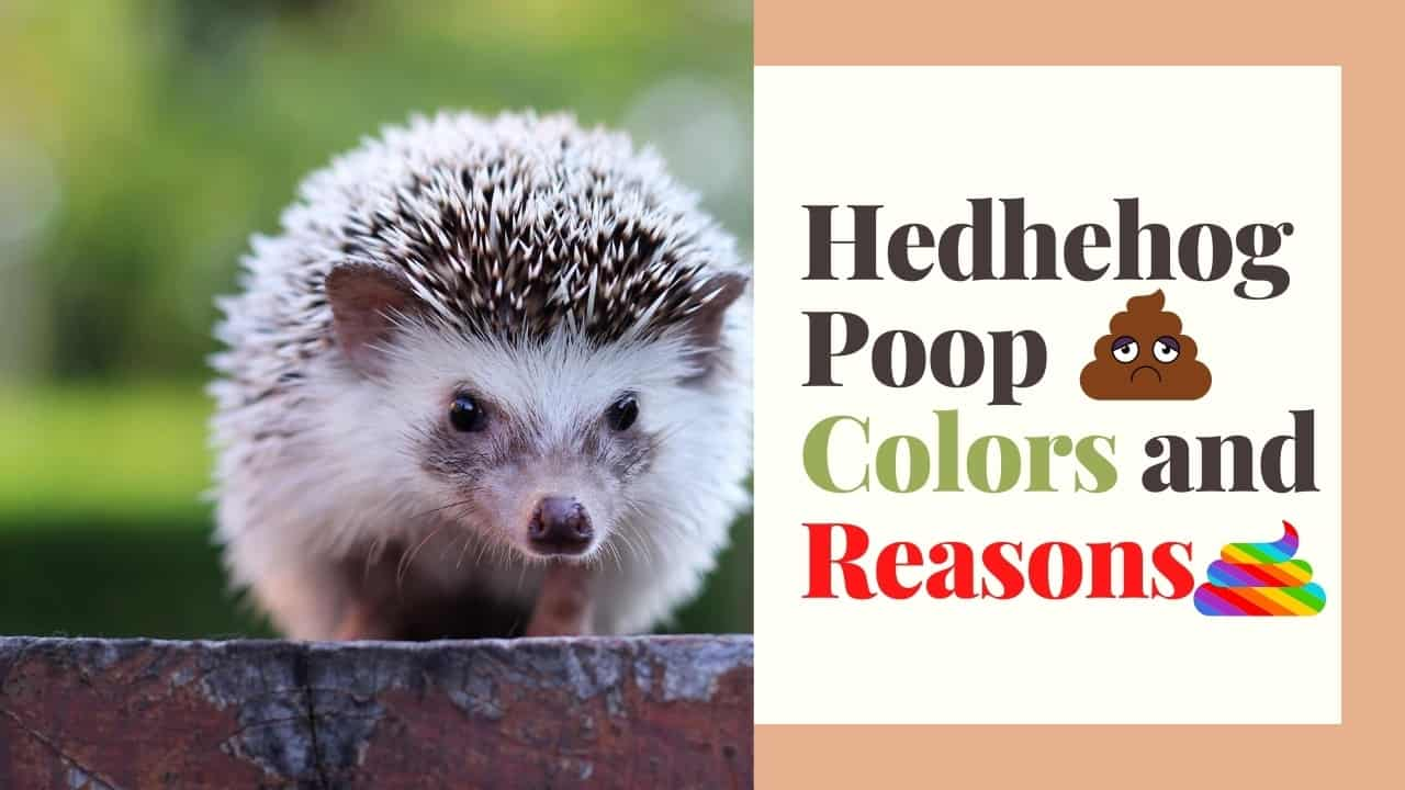 Why So Many Colors Of Hedgehog Poop? What They Mean? 1