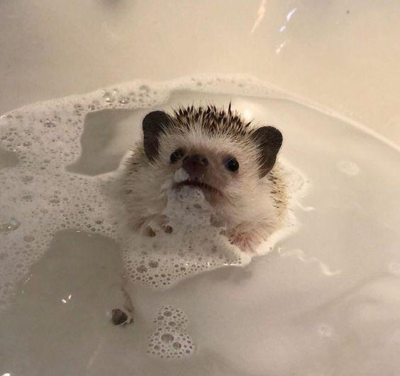 The Complete Guide to Bathing for Hedgehogs 2