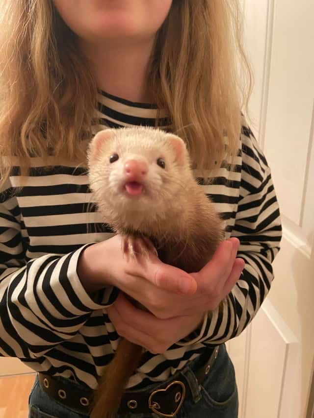 The Only Ferret Buying Guide You'll Ever Need 1