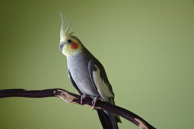 How Do Cockatiels Sleep? A Guide to Napping! 2