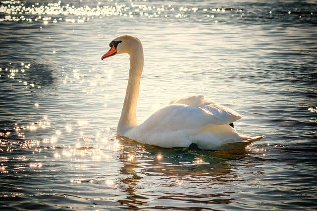 Are Swans Aggressive? Ultimate Guide to Keeping and Breeding Swans 4