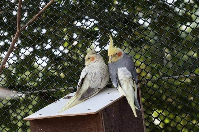 How Do Cockatiels Sleep? A Guide to Napping! 1
