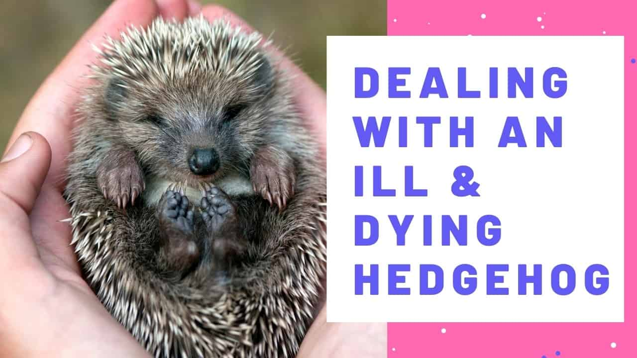 Dealing with an ill & dying hedgehog
