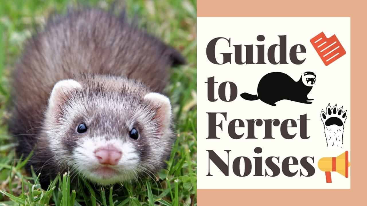 Guide to Ferret Noises