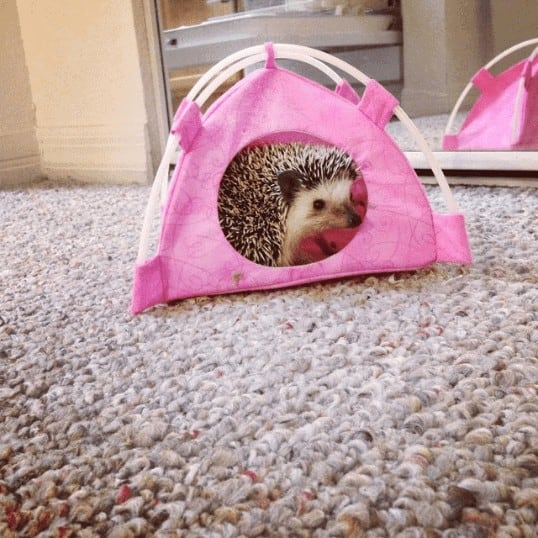 Where to Adopt a Hedgehog? Complete Guide + Hidden Costs Revealed! 2