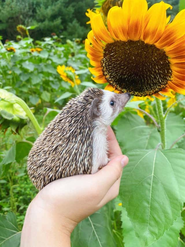 Do hedgehogs cuddle? A Guide to Hedgehog Friendliness 1