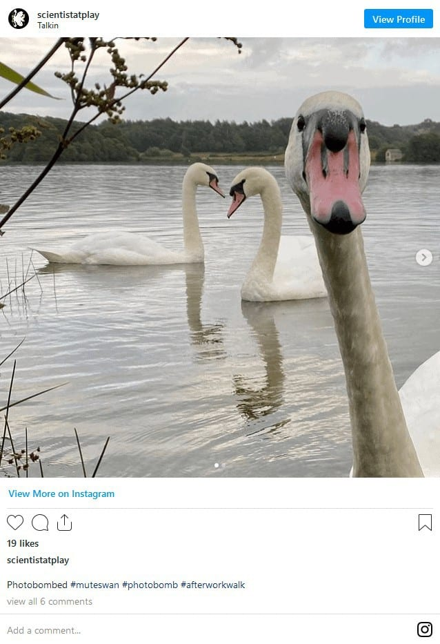 Are Swans Aggressive? Ultimate Guide to Keeping and Breeding Swans 8