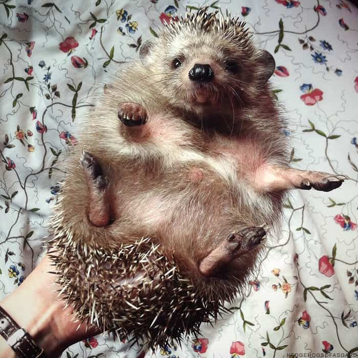 Do Hedgehogs Eat Their Babies? A Guide to Nursing Hedgehogs 1