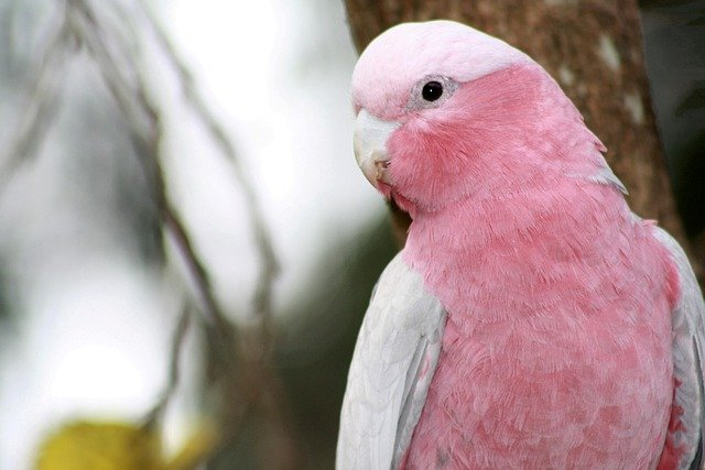 Are Cockatoos Good Pets? A Guide to Owning! 3
