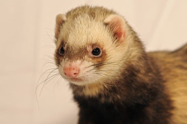 Why Do Ferrets Stink? A Guide to Dealing with Ferret Smells! 1
