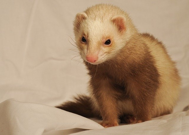 Why Do Ferrets Stink? A Guide to Dealing with Ferret Smells! 2