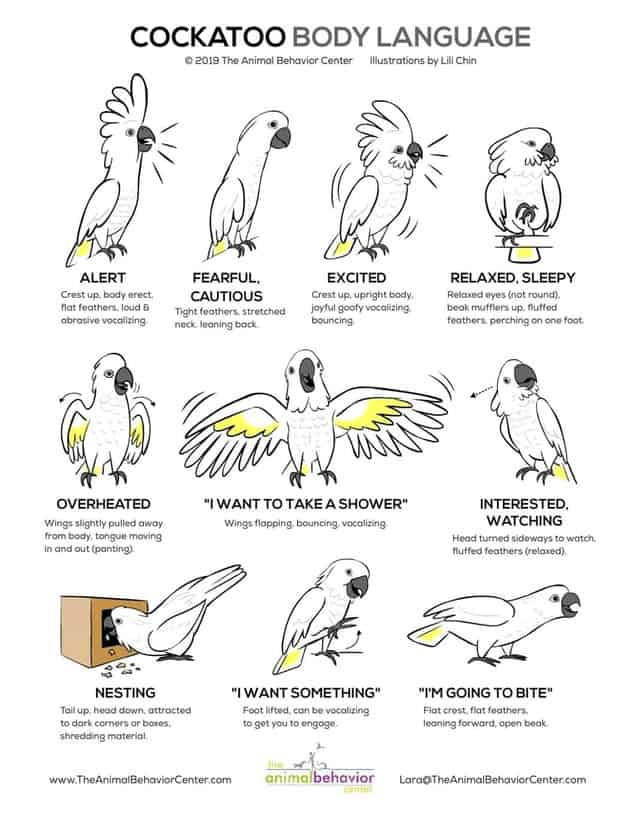 Are Cockatoos Good Pets? A Guide to Owning! 5