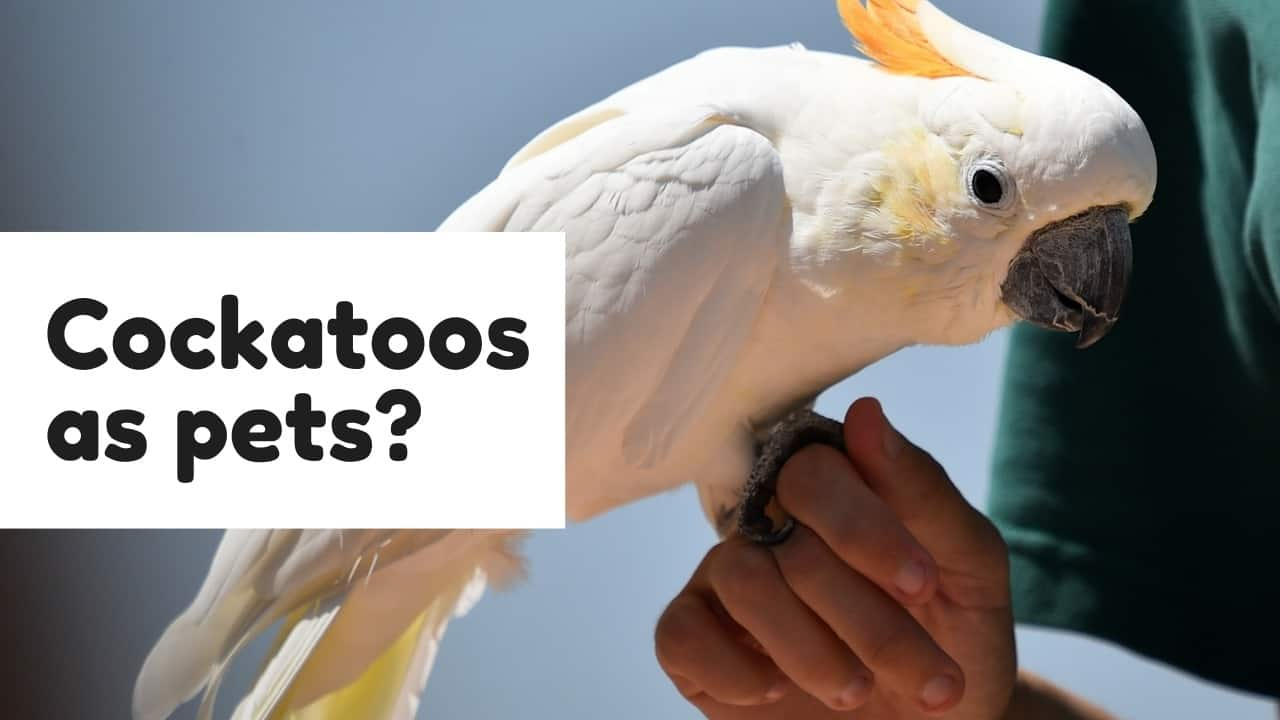 Are Cockatoos Good Pets? A Guide to Owning! 1