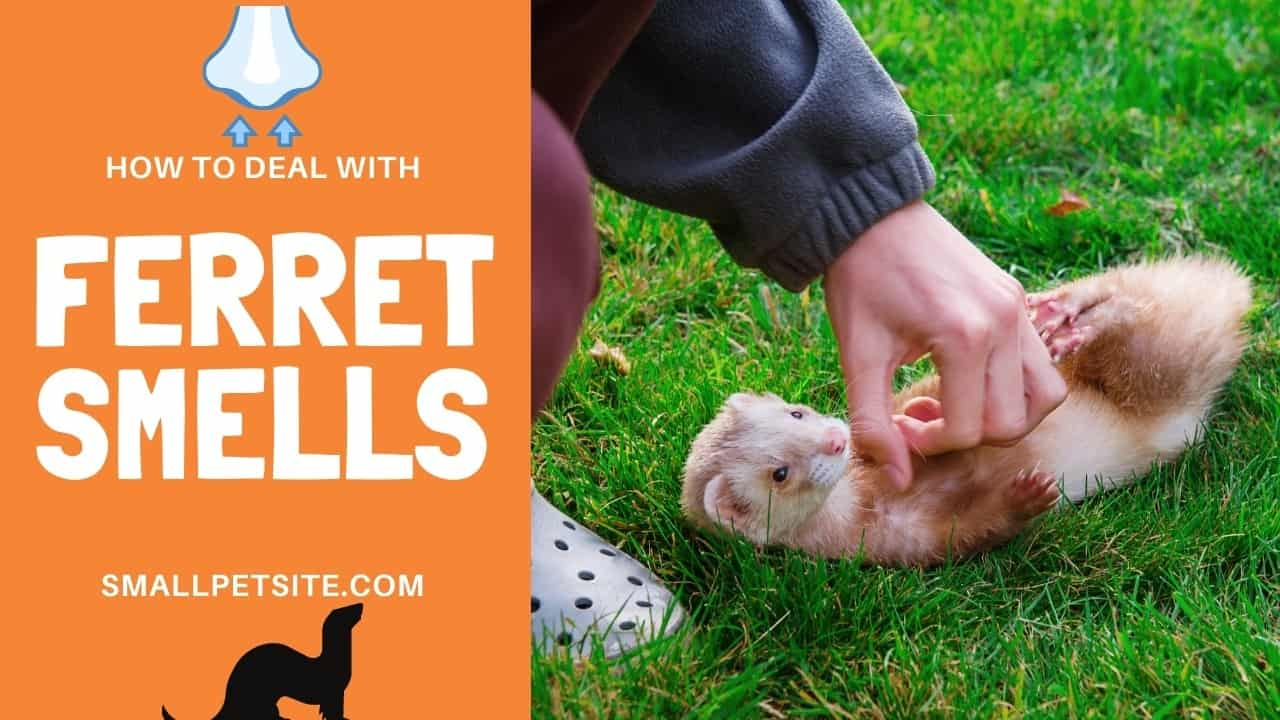 Why Do Ferrets Stink? A Guide to Dealing with Ferret Smells