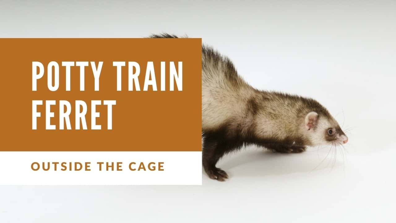 Potty training ferrets outside the cage