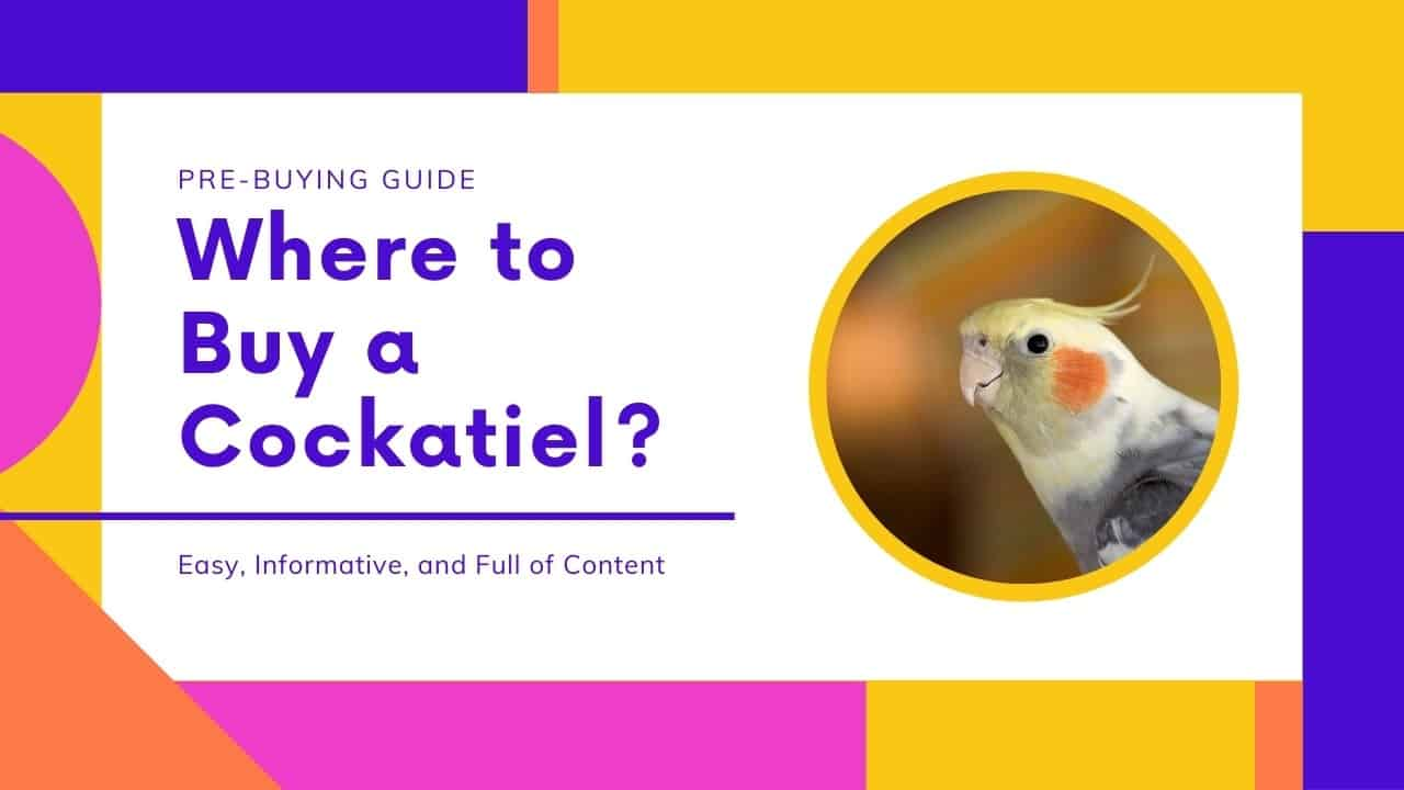 Where to buy a cockatiel?
