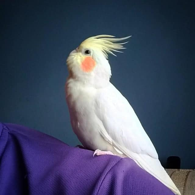 Where to Buy a Cockatiel? A Guide to Owning and Keeping! 1