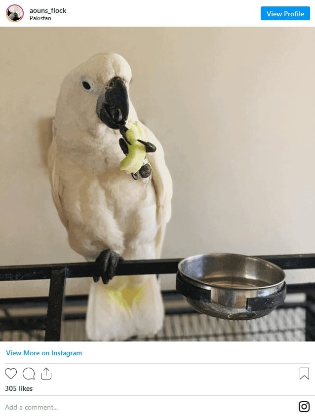 Are Cockatoos Good Pets? A Guide to Owning! 7