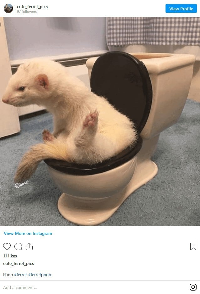 The Complete Ferret Pooping Guide 3