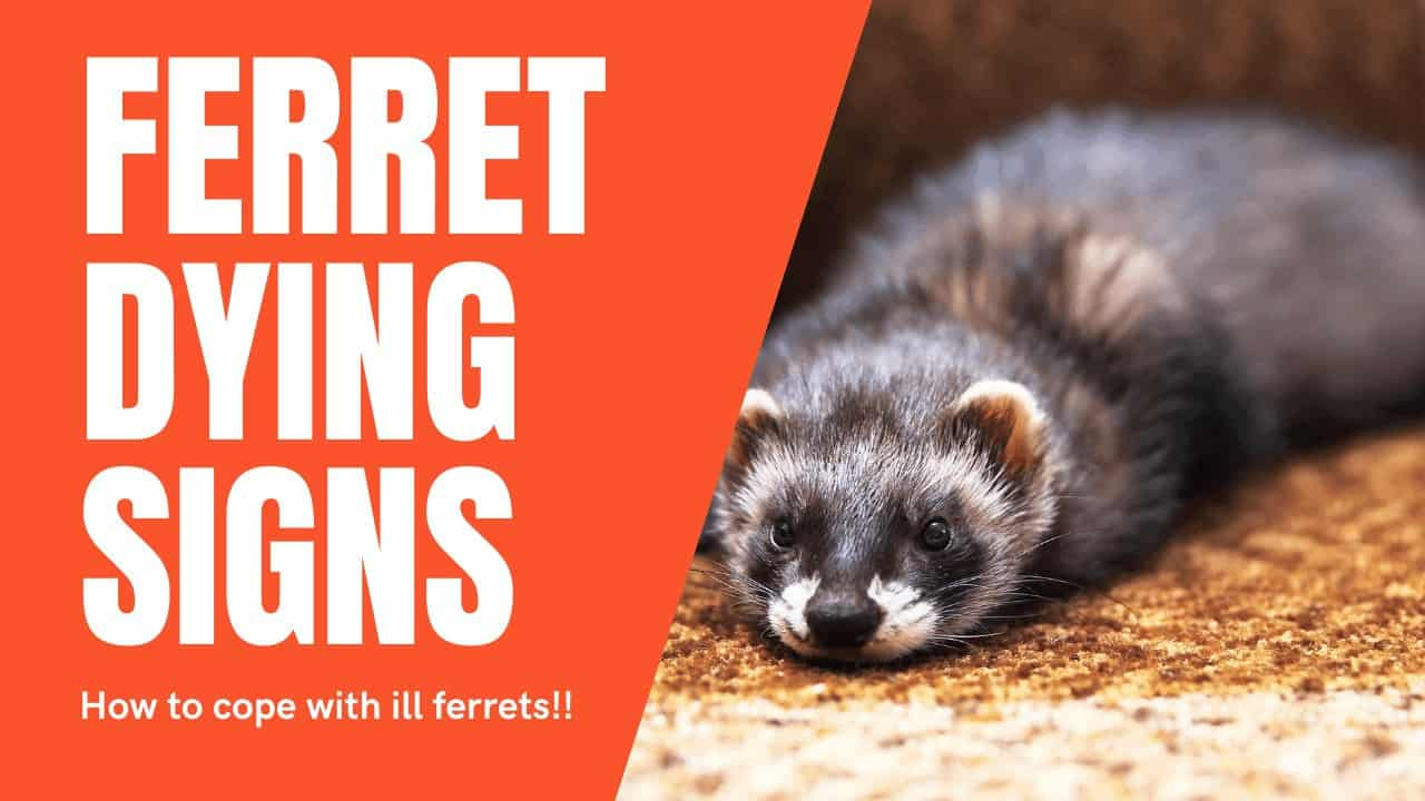 Ferret dying signs