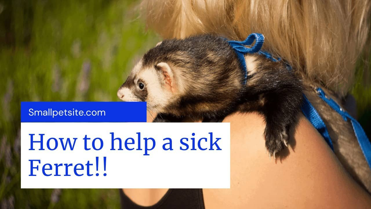 Ferret Dying Signs? A Guide to Deal with Ill and Dying Ferrets! 5