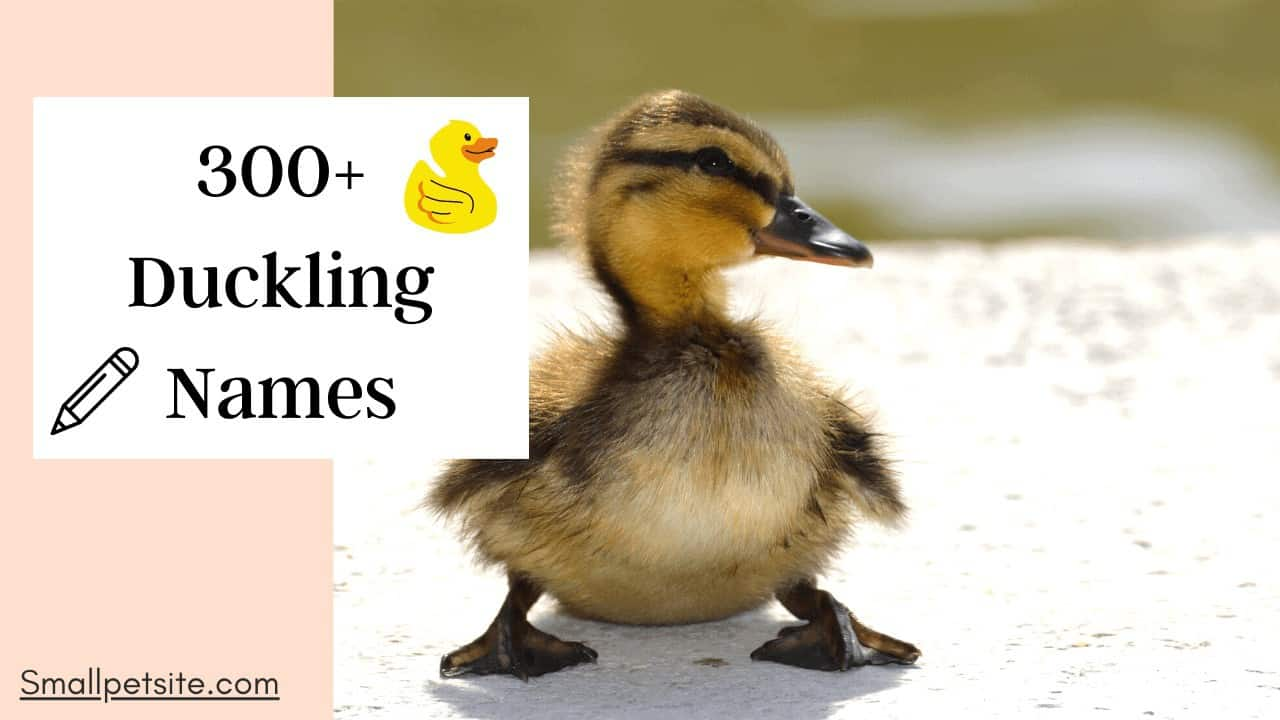 300+ Duckling Names | Name Your Ducklings Today! 1