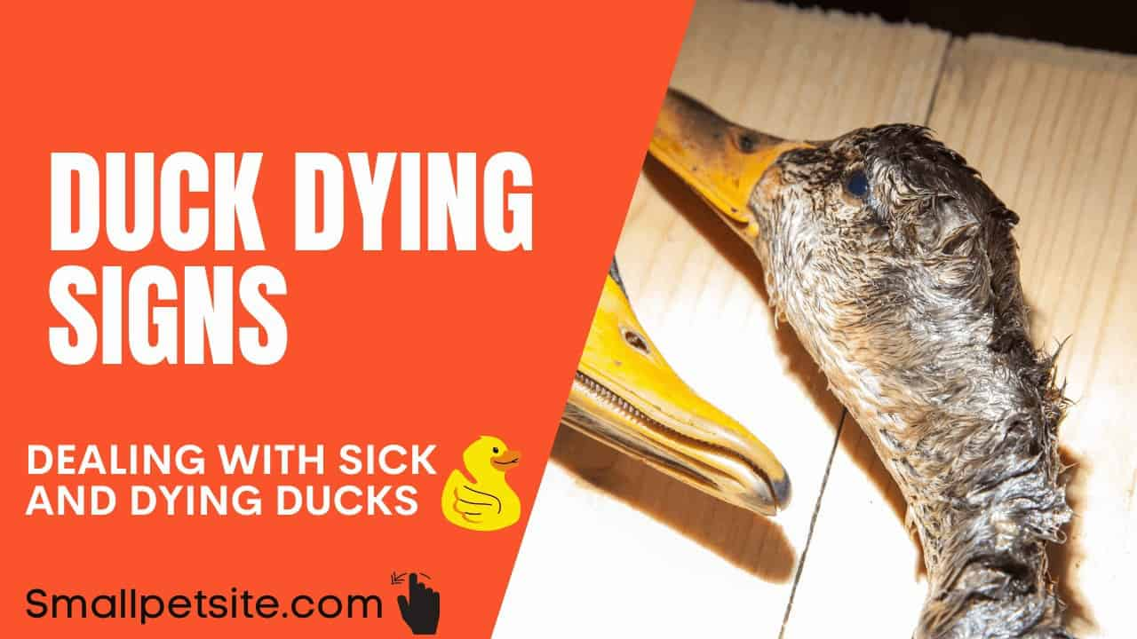 Duck Dying Signs – Deal With Sick and Dying Ducks! 1