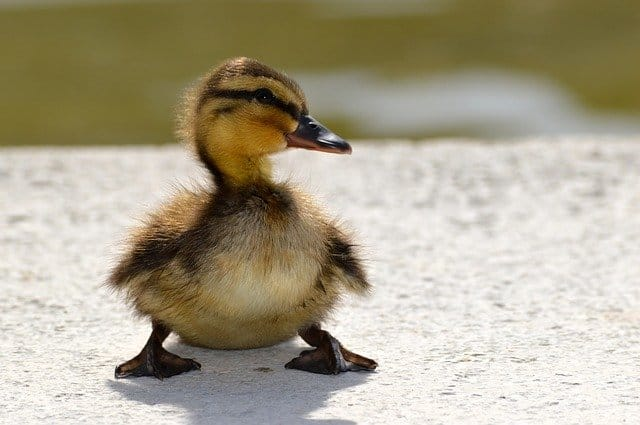300+ Duckling Names | Name Your Ducklings Today! 2