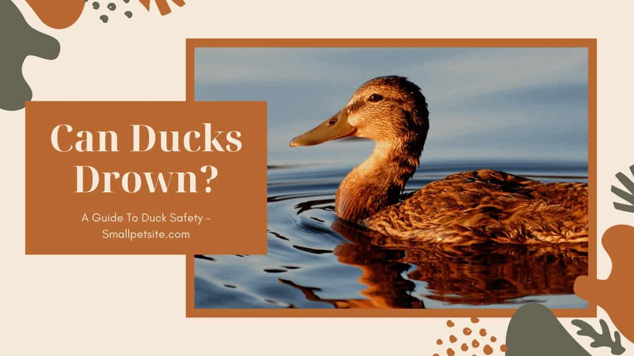Can Ducks Drown? A Guide To Duck Safety! 1