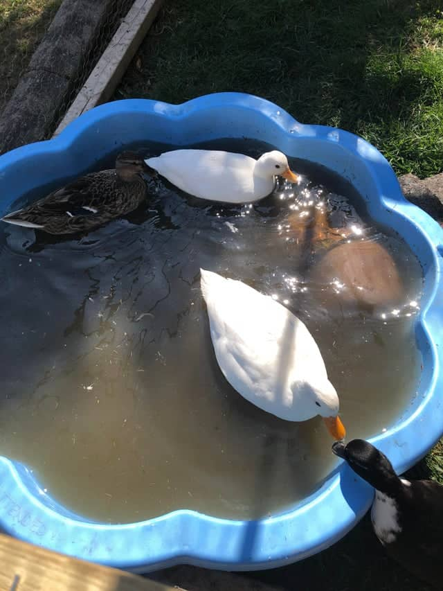 Can Ducks Drown? A Guide To Duck Safety! 4