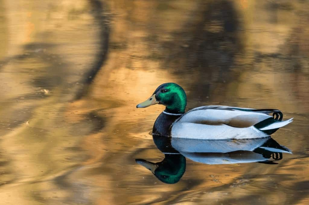 Can Ducks Drown? A Guide To Duck Safety! 3