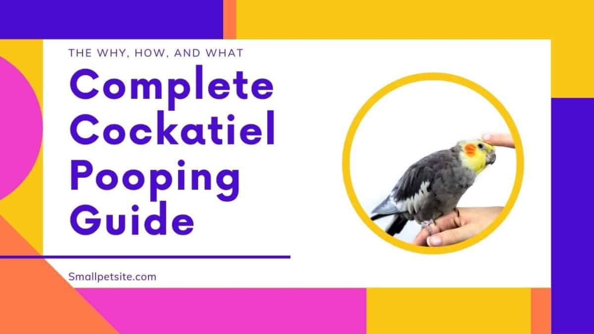 Essential Guide to Cockatiel Pooping 1